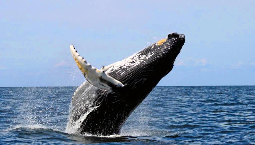 Avistamiento de Ballenas en el Pacifico Colombiano