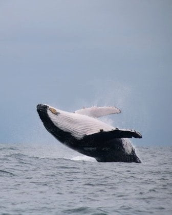 lugares para el avistamiento de ballenas en Colombia
