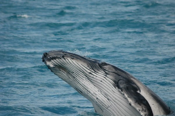 ballenas jorobadas Colombia