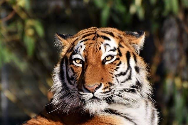 Imagen ilustrativa Tigre zoológico