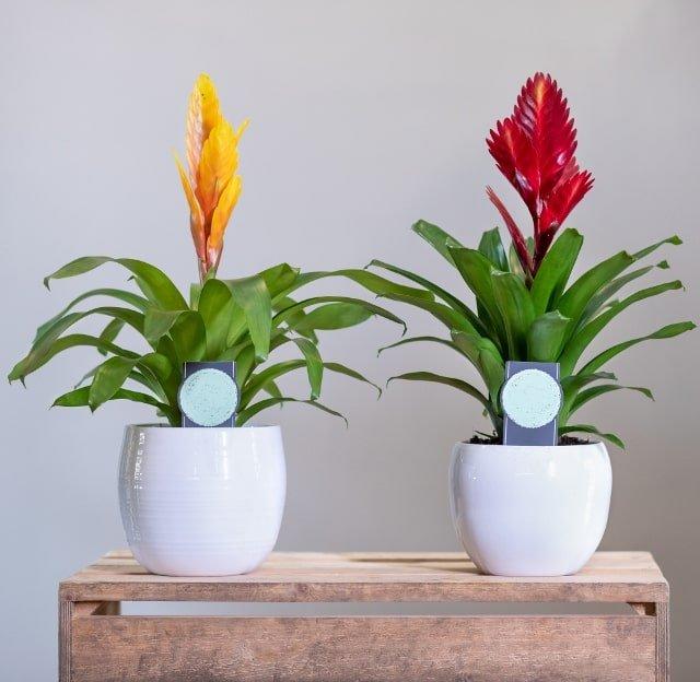 bromelia planta de interior