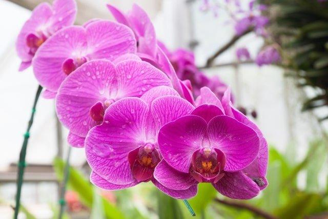 la orquídea planta de interior con flor